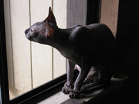 Sphynx are indoor cats